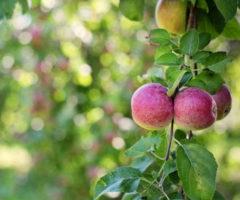 Китайскому роботу длясбора яблок провели коррекцию зрения
